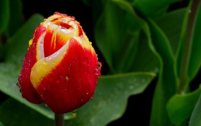 tulip bud spring