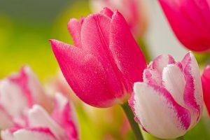 tulip flower images free