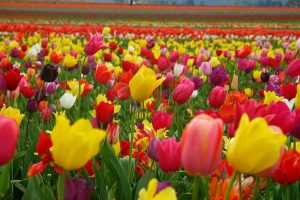 tulip flower picture gallery