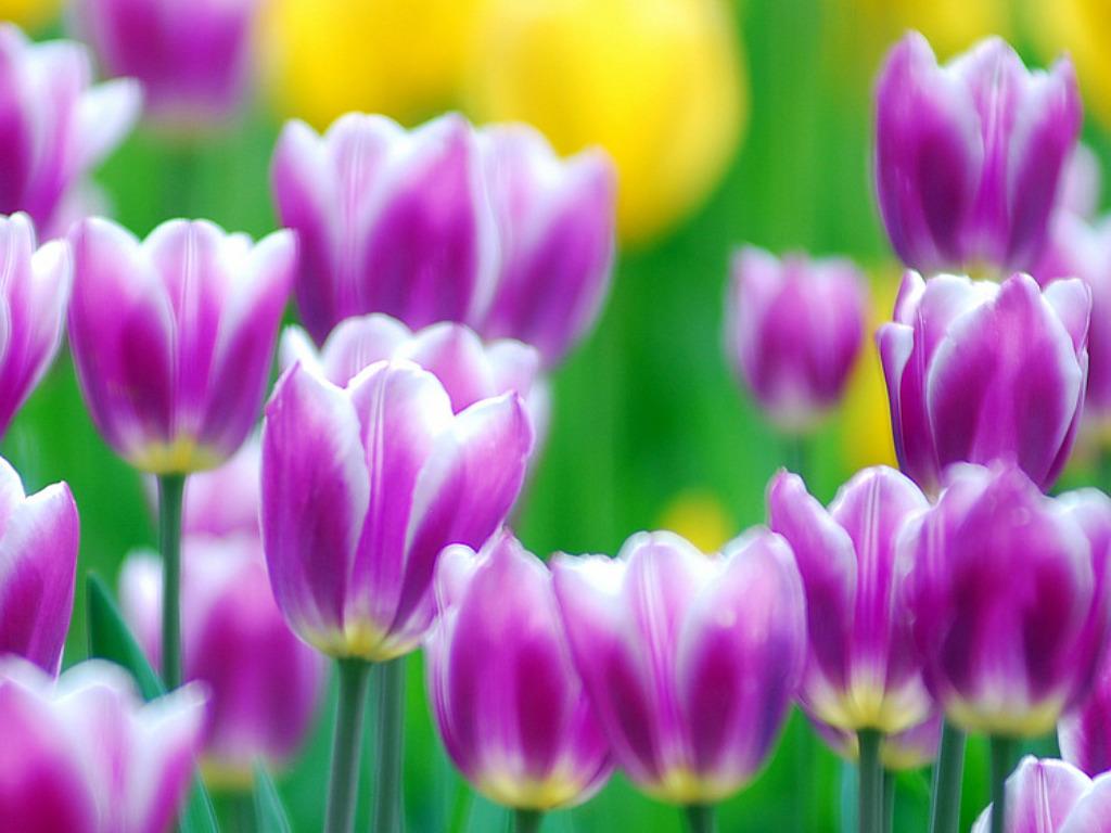 tulip flower picture