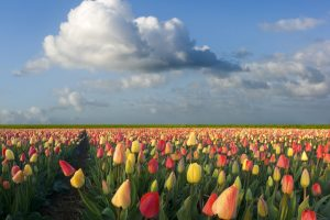 tulip flower pictures