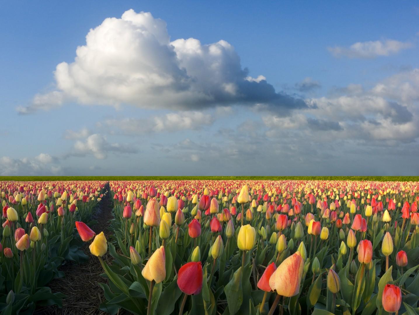 tulip flower pictures
