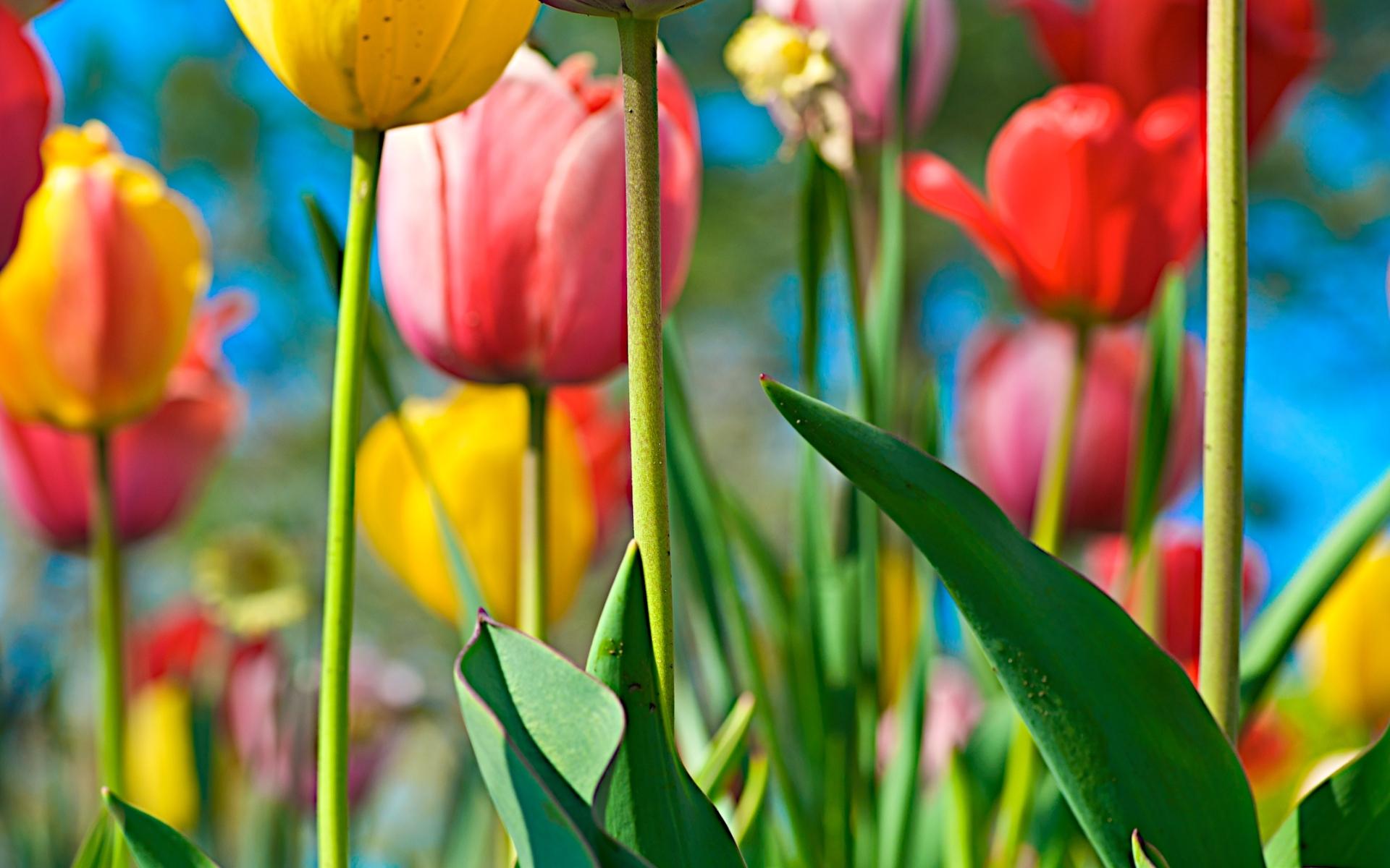 tulip flowers pictures