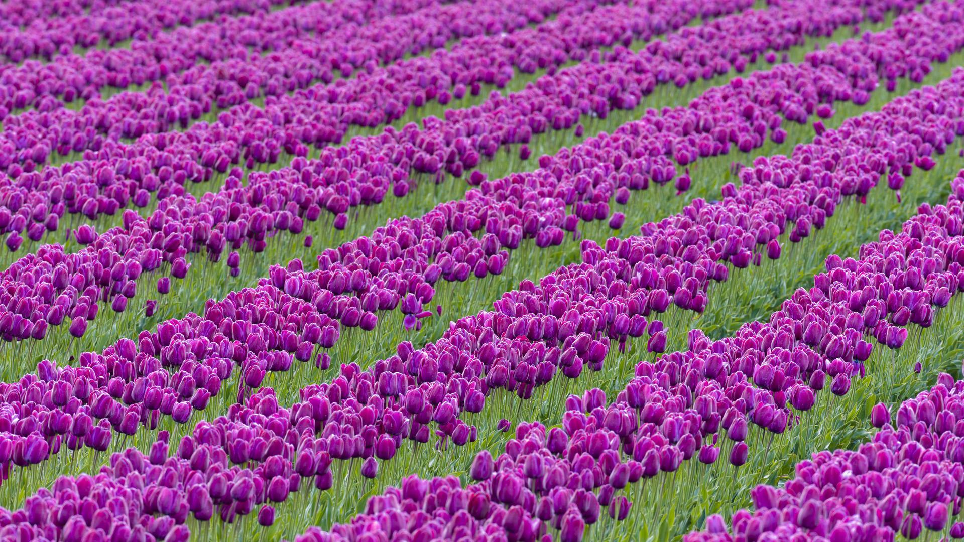Skagit Valley, Tulip Festival, Washington State, USA