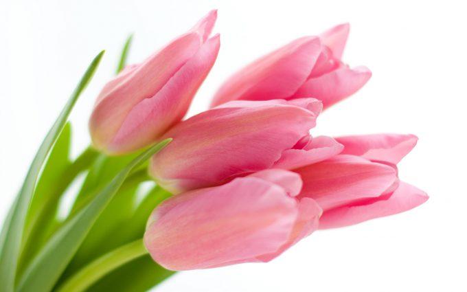 tulip hd