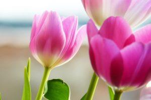 tulip images free
