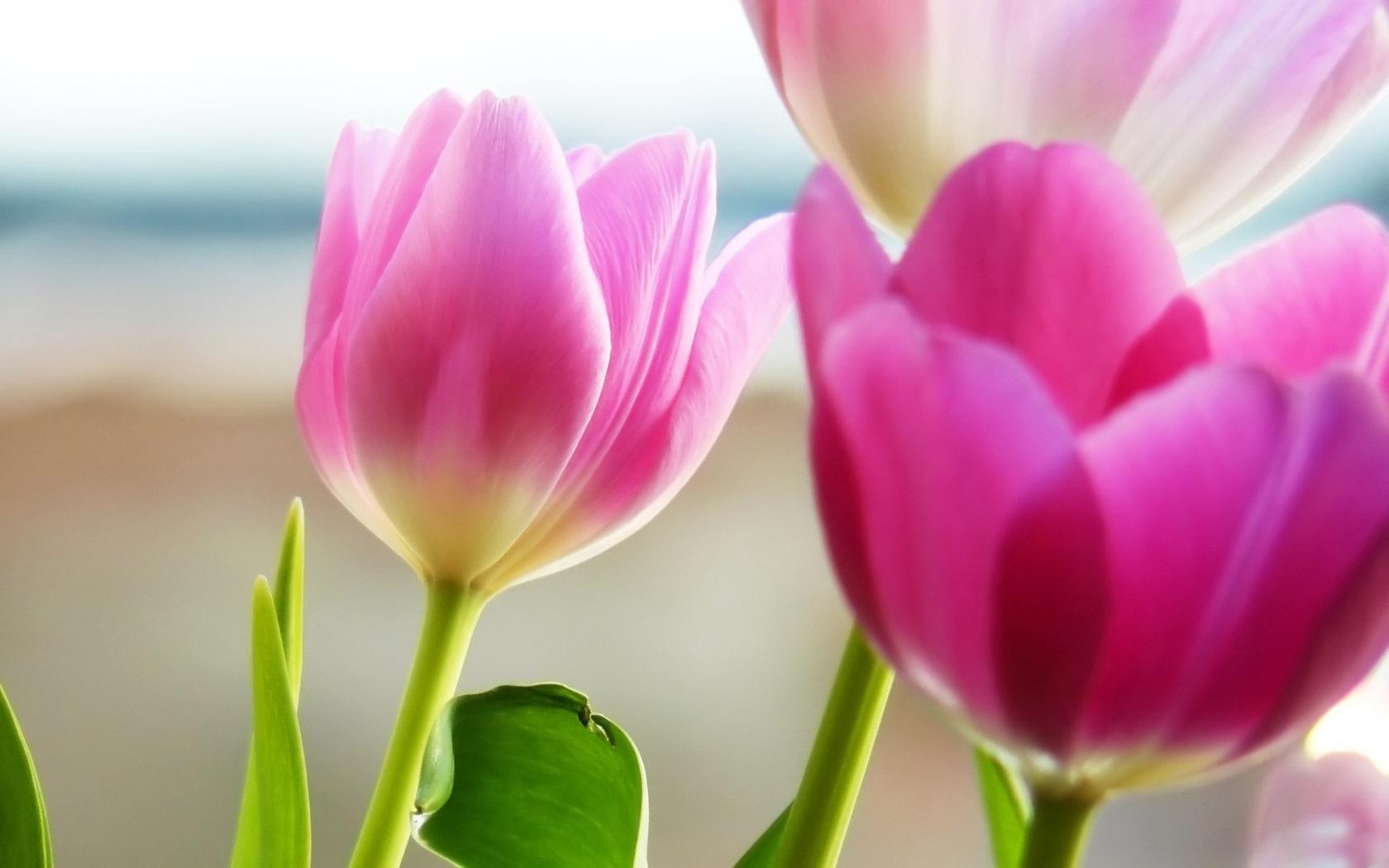 Tulip Images Free - HD Desktop Wallpapers