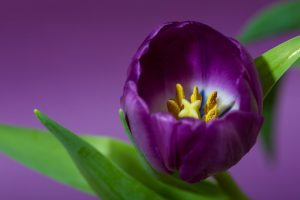 tulip petals purple