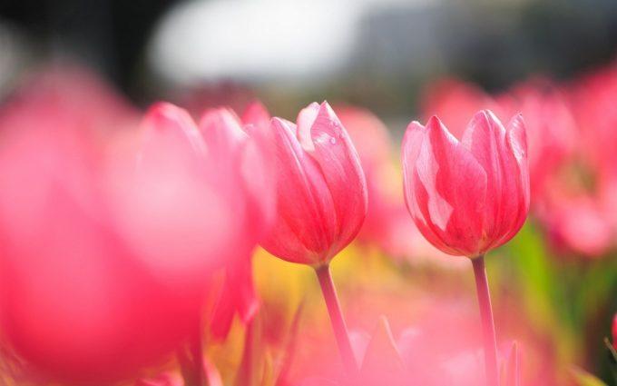 tulip picture 1080p