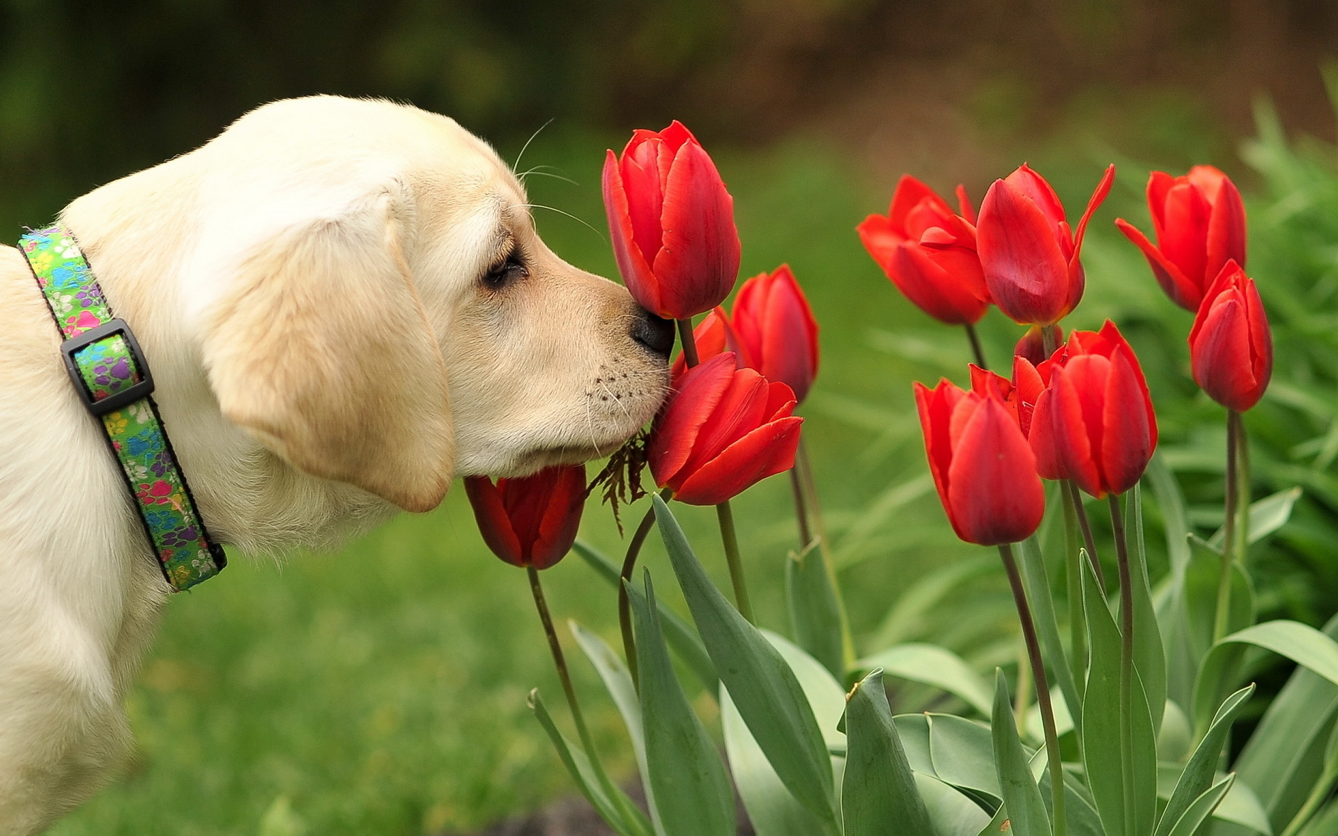 tulip picture beautiful