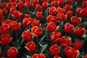tulip picture images