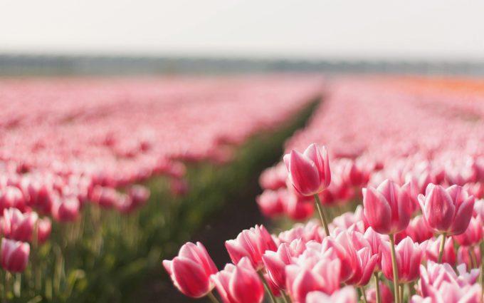 tulip picture pink