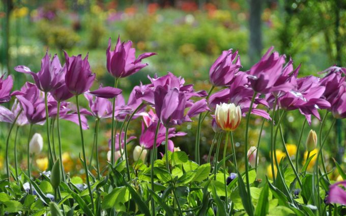 tulip picture wallpaper