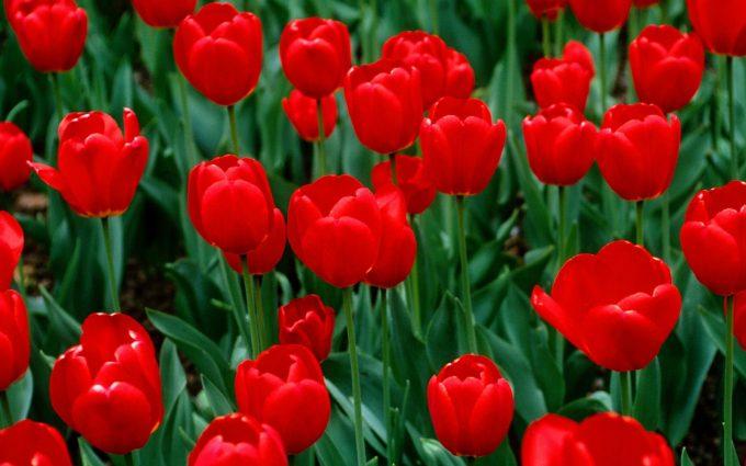 Tulip Pictures Wallpaper - HD Desktop Wallpapers