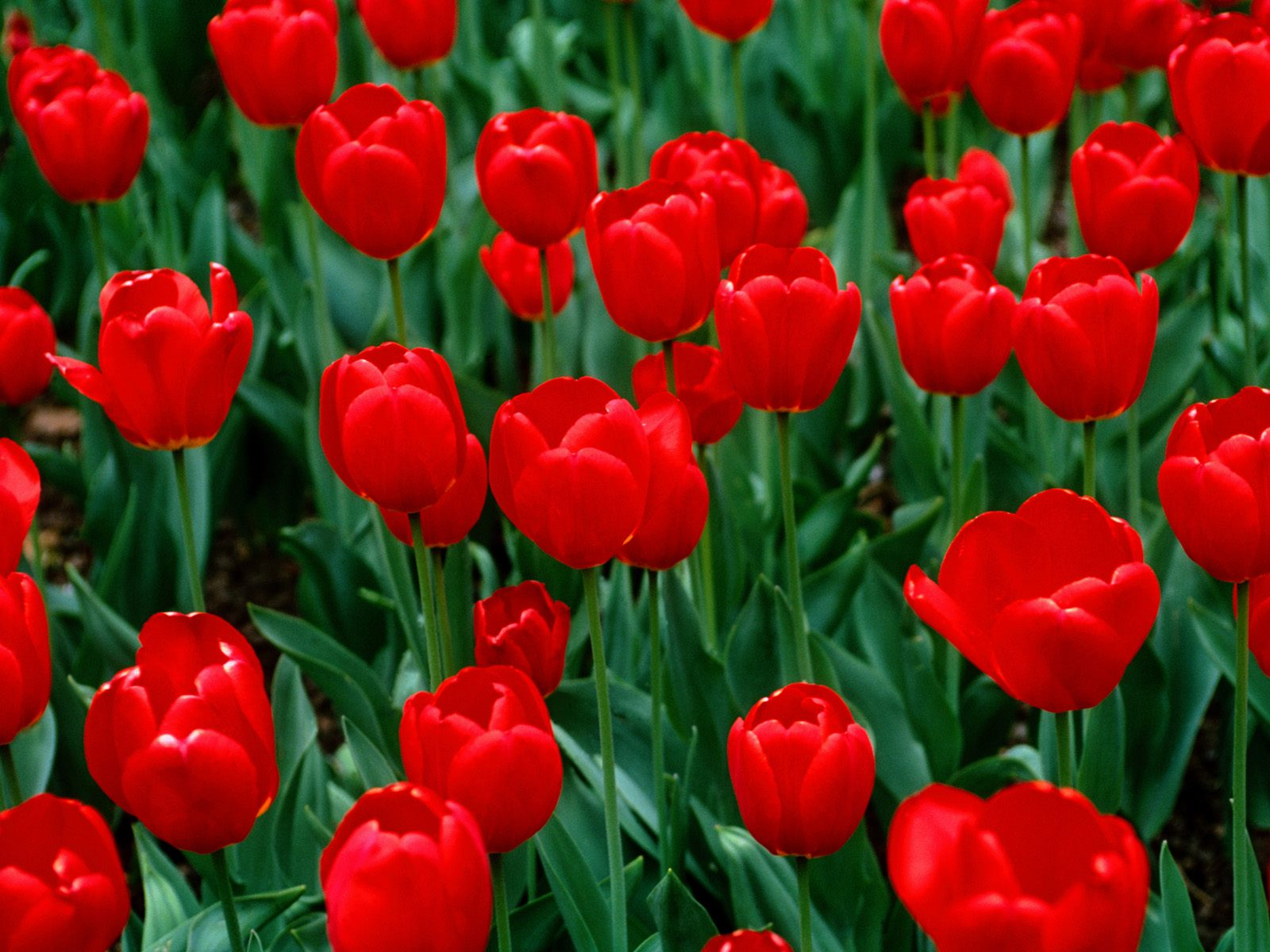 tulip pictures wallpaper