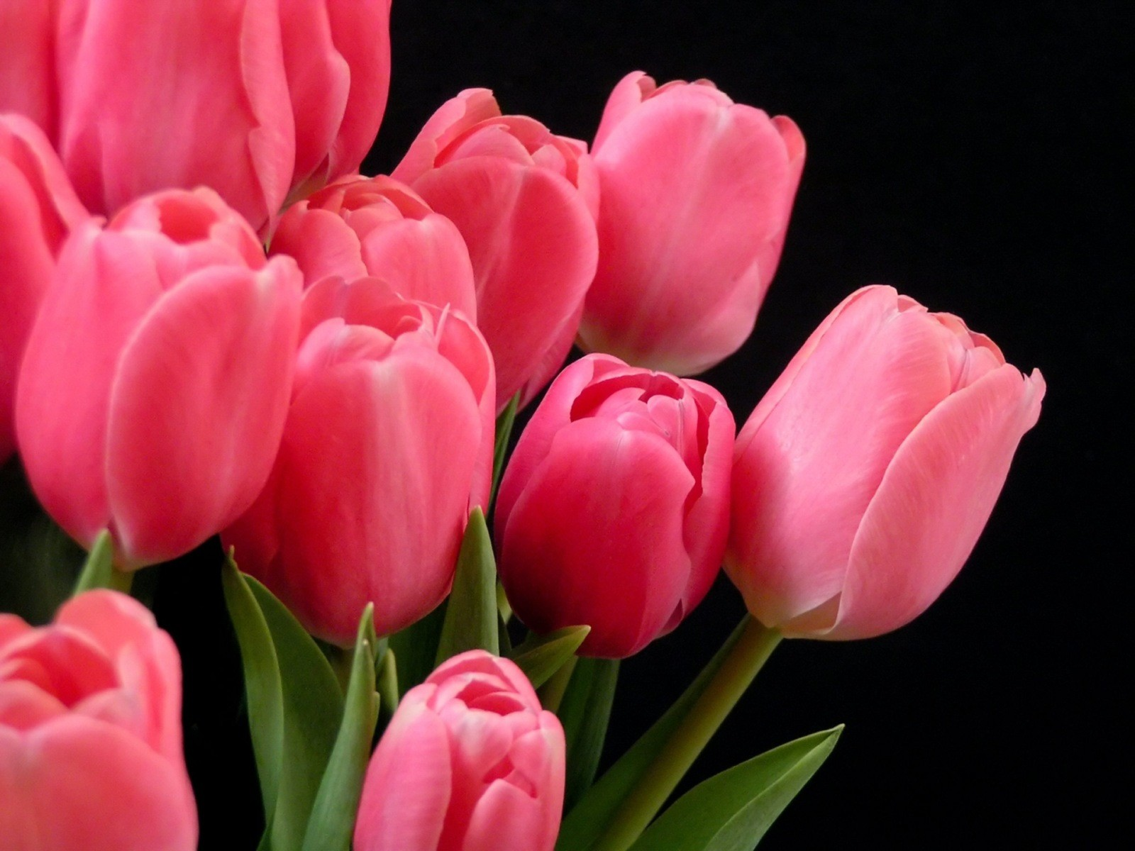 tulips flower pictures