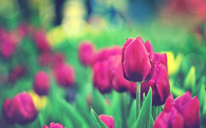 tulips flowers bokeh