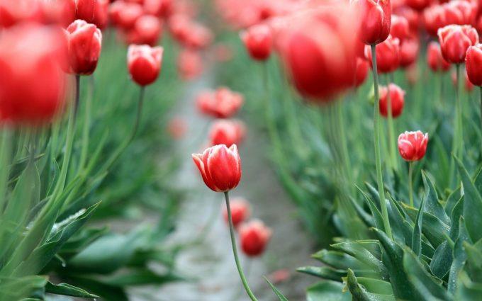 tulips flowers leaves garden