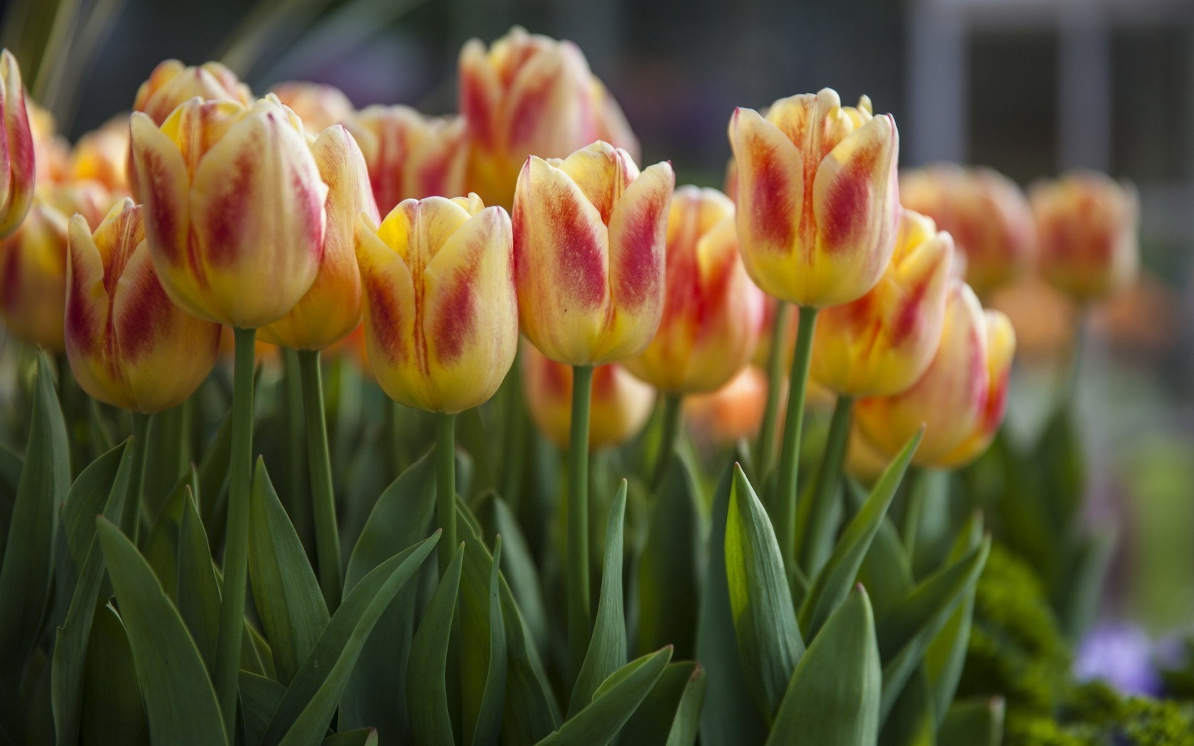 tulips flowers nature