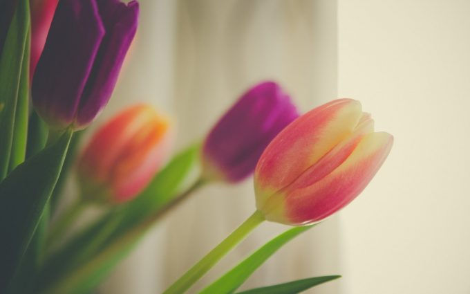 tulips flowers photo