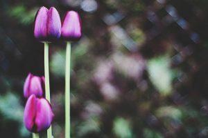 tulips four flower