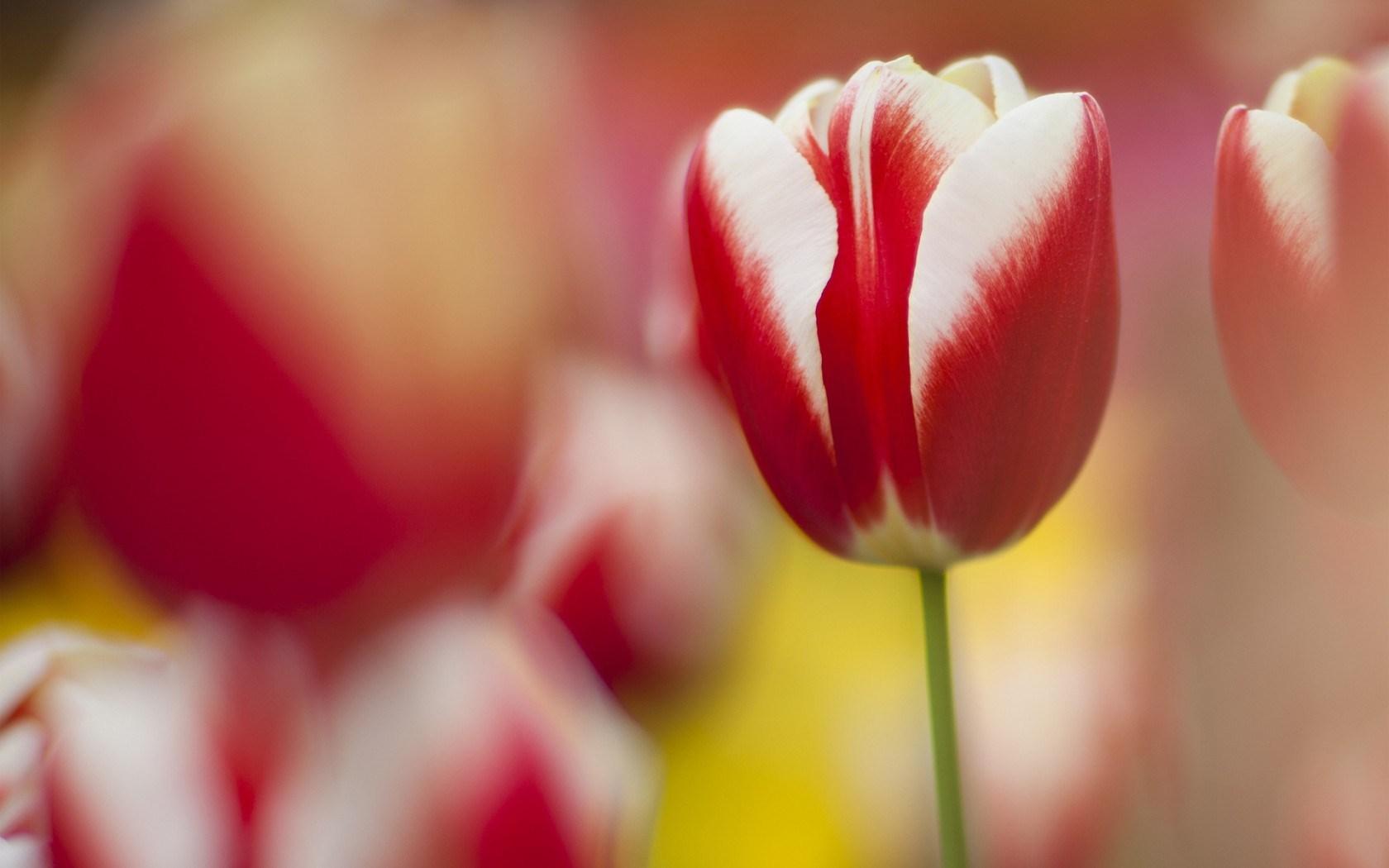 tulips macro flowers