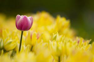 tulips nature