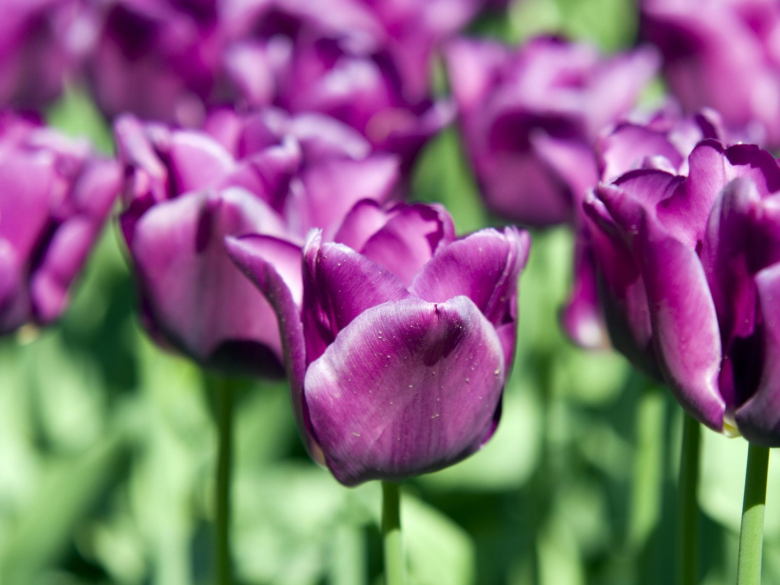tulips pictures free