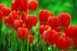 tulips pictures wallpaper