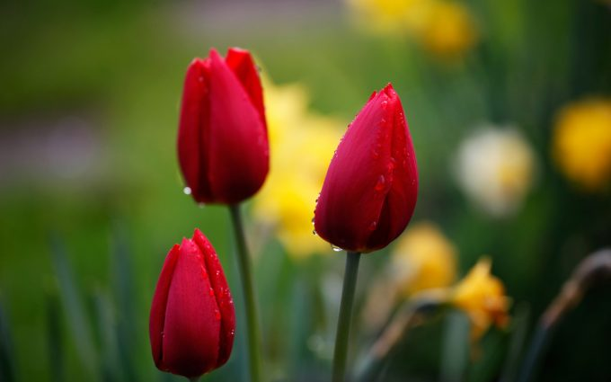 tulips red drops