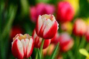 tulips red white leaves flowers