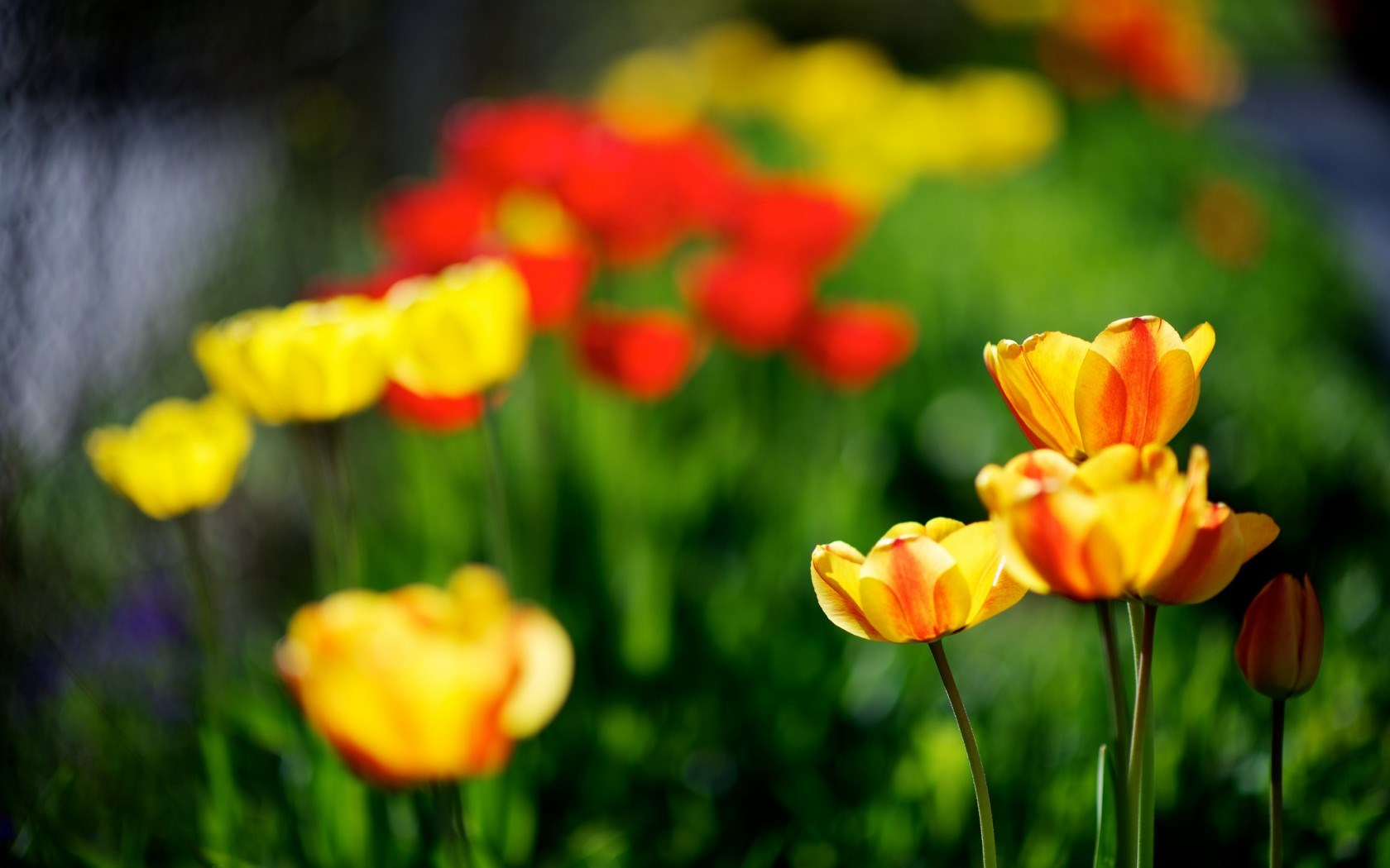 tulips yellow red spring nature