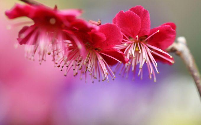 twig spring flowers pink
