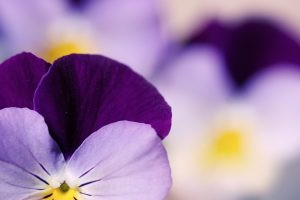 viola tricolor pansy flower close up