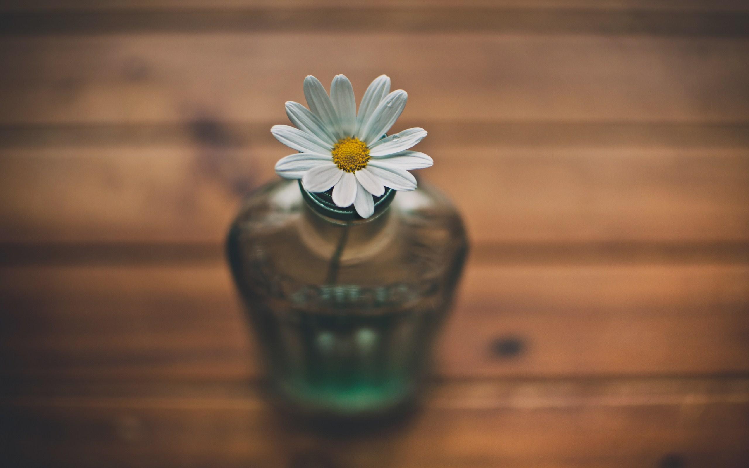 wallpaper daisy