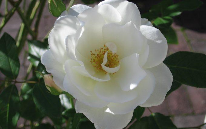 wallpaper flower white