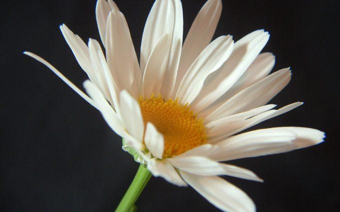wallpaper flowers white