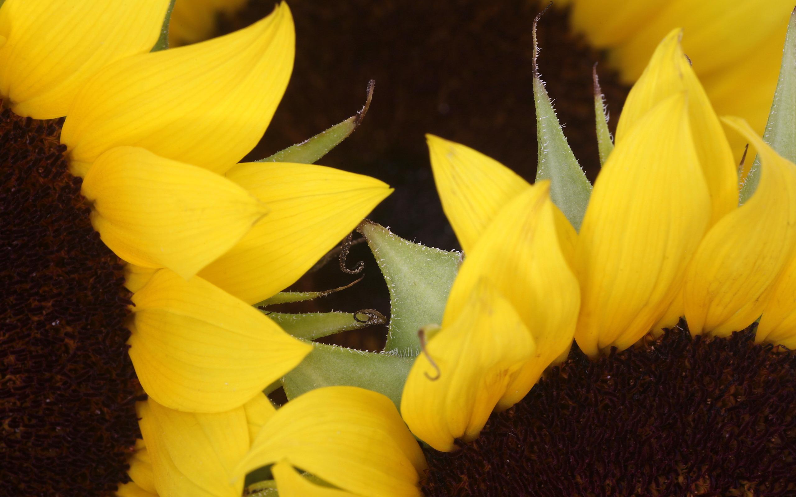 wallpaper of sunflower