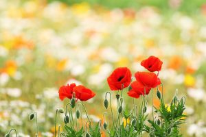 wallpaper poppies