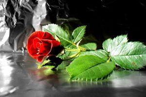 wallpaper rose flowers free download