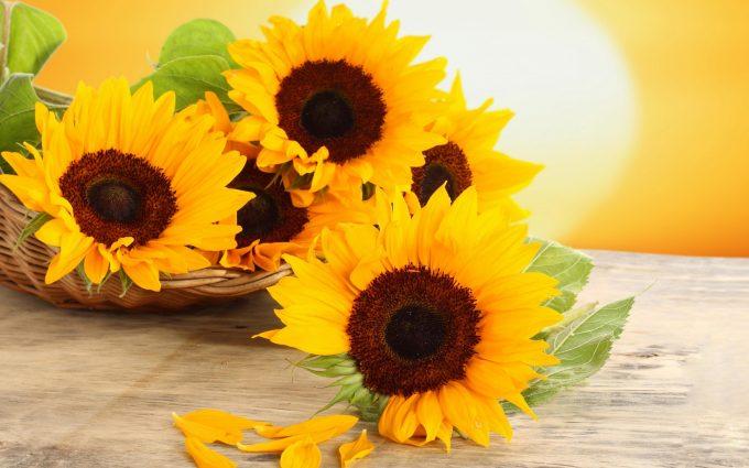 Wallpaper Sunflower Hd Desktop Wallpapers 4k Hd