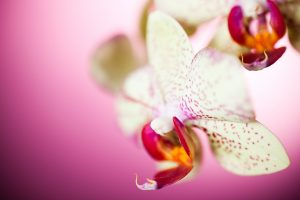 wallpapers of orchids
