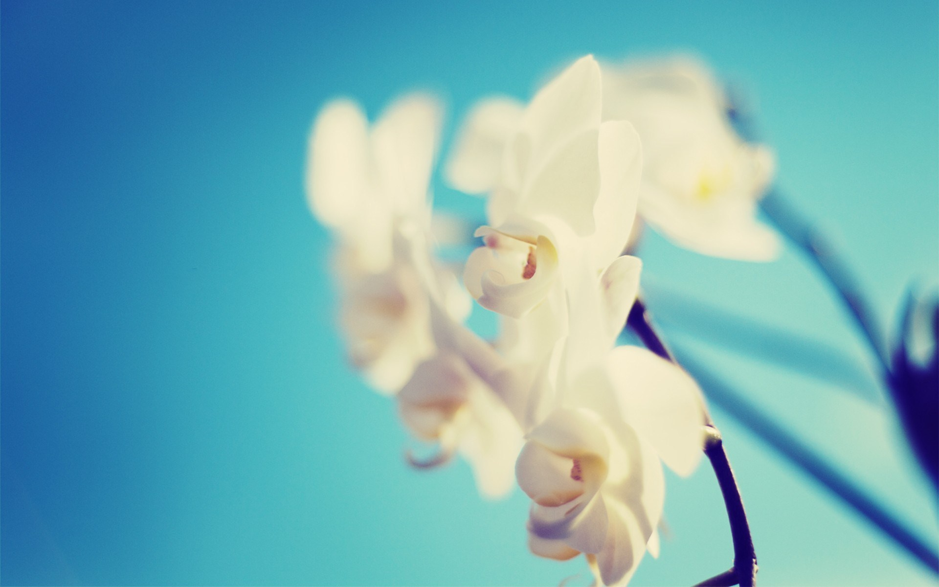 wallpapers orchid