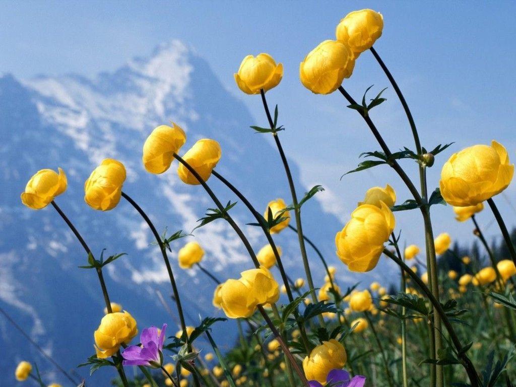 Wallpapers Yellow Flowers Hd Desktop Wallpapers 4k Hd