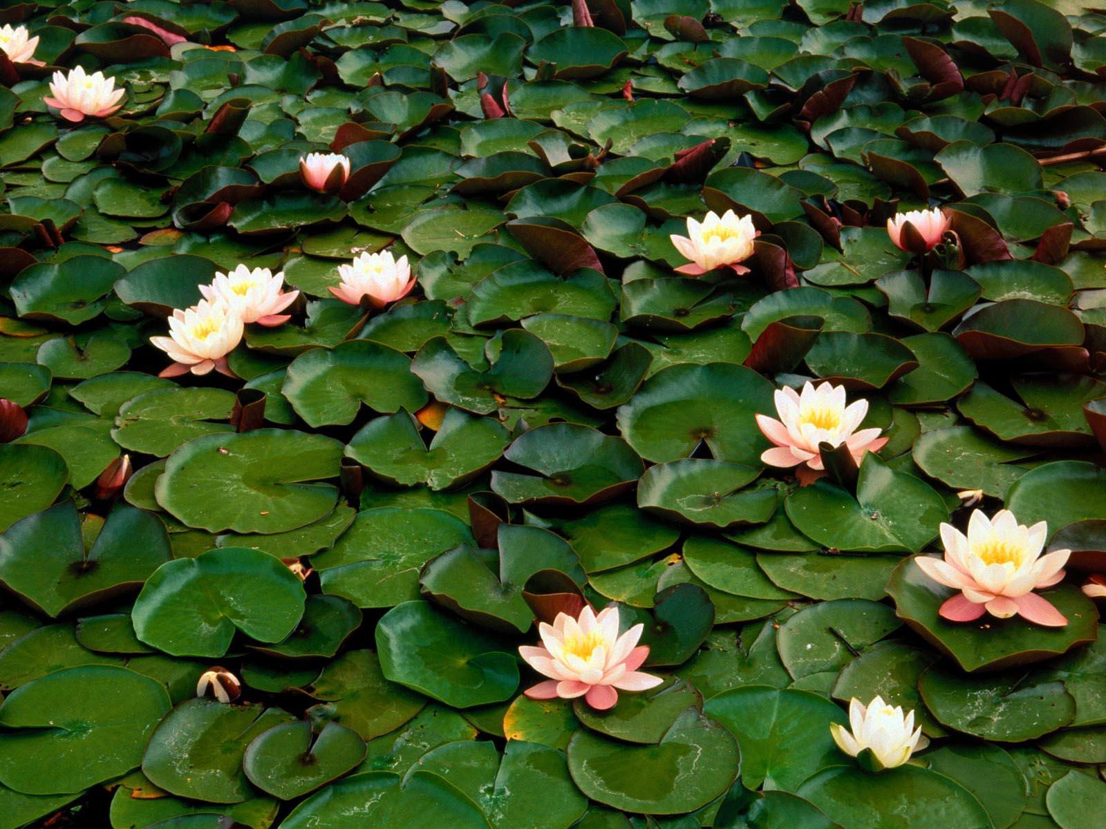 Water Flowers Hd Desktop Wallpapers 4k Hd