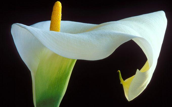 white calla lilies wallpaper