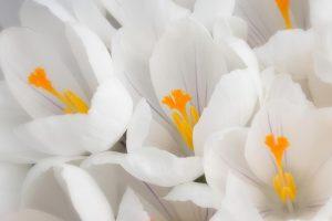 white crocuses hd