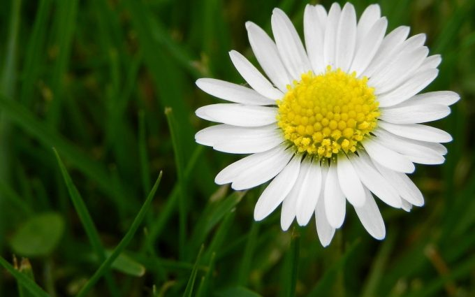 white daisy flower pictures