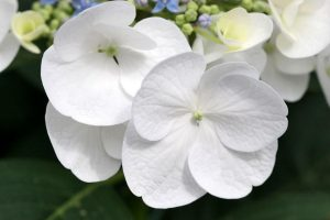 white flowers A