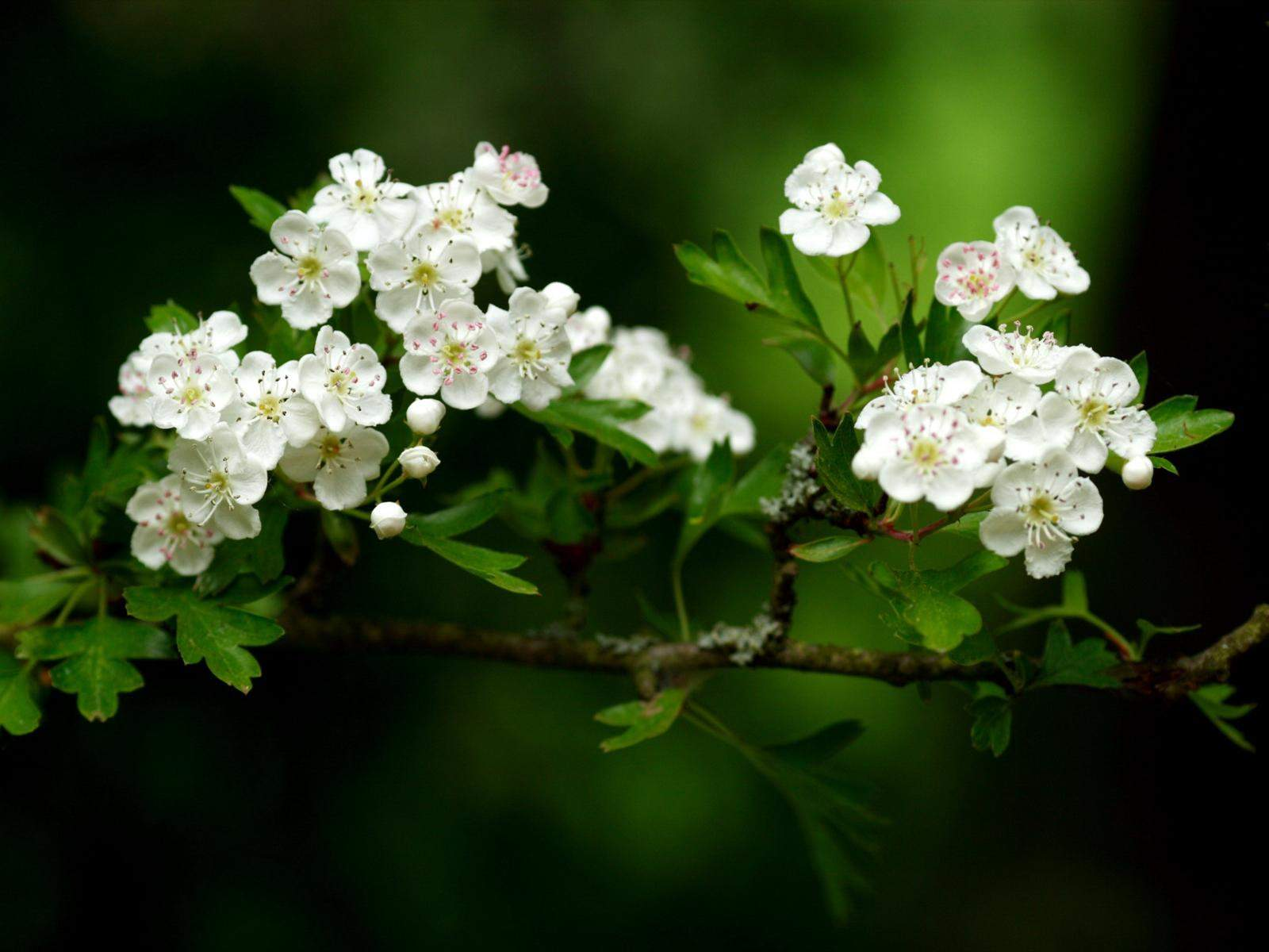 white flowers A25